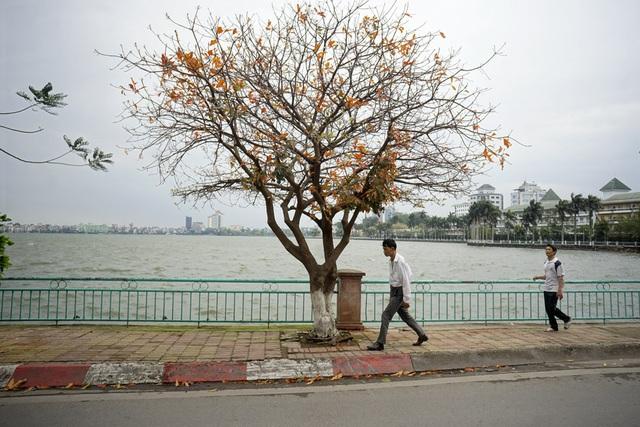 Ven hồ Tây đoạn đường Nguyên Đình Thi là nơi có rất nhiều cây lộc vừng đang độ vàng lá.