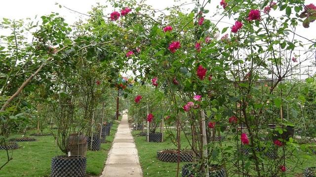Ngoài những giống hồng nội địa, phổ thông vườn hồng này còn có nhiều giống hồng quý, được nhiều người săn lùng, yêu thích và có giá trị cao như: hồng cổ Sapa, Bạch Vân Khôi, hồng đào cổ hay hồng leo Hải Phòng. Trong đó, nhiều gốc hồng có tuổi đời lâu năm, trị giá lên tới hàng trăm triệu.