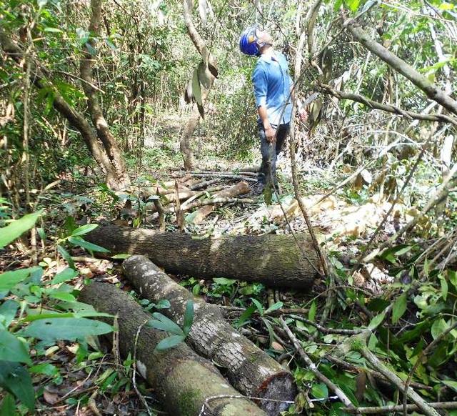 Khu vực phá rừng phía Tây Nam - nơi giáp ranh giữa rừng phòng hộ hồ Đá Vàng với hồ Cây Thích bị cưa hạ, cây gỗ cưa thành từng khúc để hầm than.