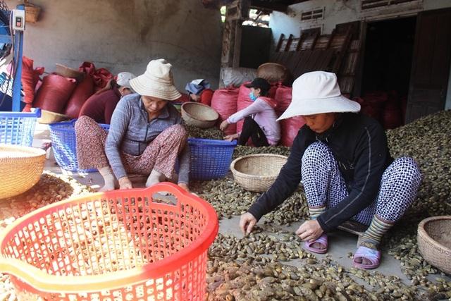 Các nhân công đang lựa cau non đạt chất lượng trước khi đi sấy để xuất sang thị trường Trung Quốc