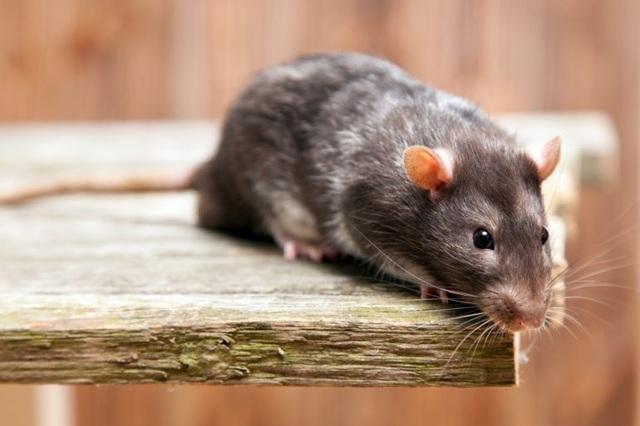 Những con chuột được thả rông chạy khắp quán