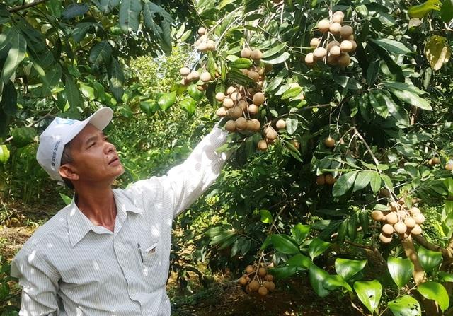 Lão nông Trần Minh Sơn bên vườn cây nhãn sắp cho thu hoạch của gia đình.