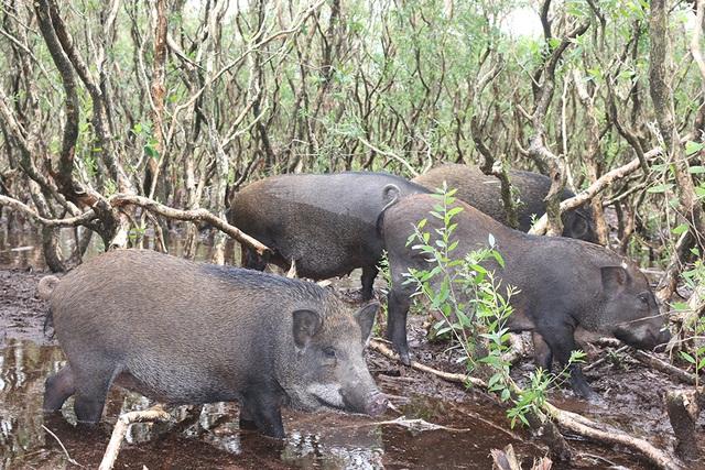 Bước đầu bắt tay vào việc chăn nuôi lợn rừng, ông Lương đã mua 20 con lợn giống. Đồng thời khoanh, rào khoảng 1 hecta cây tràm tự nhiên, trong diện tích được cấp để thả lợn giống vào.