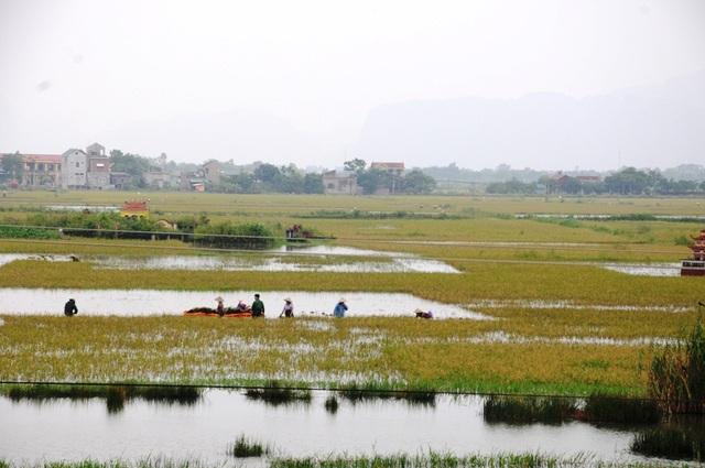 Hàng nghìn ha lúa của huyện Gia Viễn, Ninh Bình ngập sâu trong nước lũ.