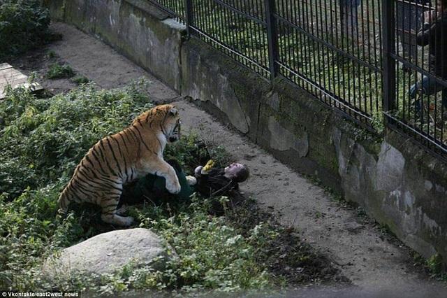 Một nữ công nhân làm việc tại công viên ở thành phố Kaliningrad, Nga, đã rất may mắn sống sót sau khi bất ngờ bị một con hổ cái tấn công. Sự việc xảy ra khi người phụ nữ đang đi lại giữa các chuồng nuôi nhốt thú để đưa đồ ăn tới cho các con vật. Lúc này cửa chuồng hổ không hiểu vì lý do gì lại đang để mở.