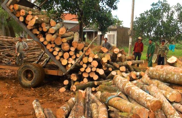 Người trồng cao su chặt cây bán rẻ