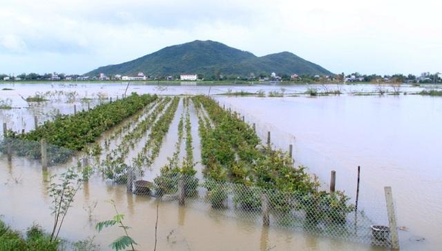 Những vườn mai ở xã Nhơn An (thị xã An Nhơn) lại bị ngập nước lũ.