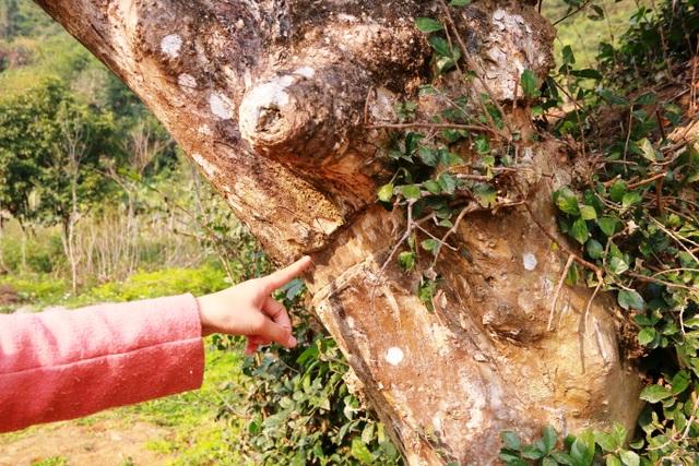 Vì là cây có nhiều ý nghĩa tâm linh nên người dân địa phương rất chăm sóc và bảo vệ. Người dân địa phương kể, xưa kia có người đến định chiết và cưa trộm một nhánh cây về trồng, tuy nhiên cưa mãi nhưng phần thân này không đứt được mà lưỡi cưa bị gãy, người này sau gặp tai họa, vết cắt này hiện vẫn còn lưu lại trên thân cây. Từ đó không ai dám xâm hại đến cây duối này nữa.