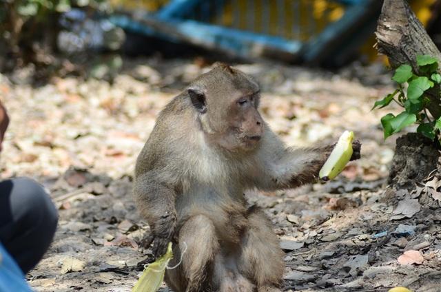Nhiều du khách thích thú hình ảnh khỉ nhận trái cây từ người quản vườn rồi ngồi tại chỗ lột vỏ ra ăn.