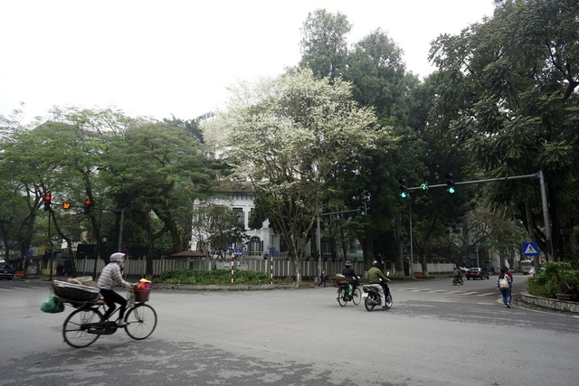 Màu hoa sưa không thể lẫn trong thiên nhiên Hà Nội.