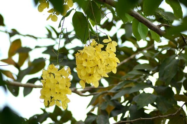 Mỗi hoa đường kính 4–7cm với 5 cánh hoa màu vàng tươi có hình bầu dục rộng, gần bằng nhau có móng ngắn; nhị 10, bao phấn phủ lông tơ ngắn. Bầu và vòi nhụy phủ lông tơ mượt.