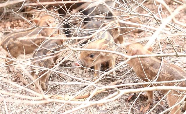 Sau khi sinh được khoảng 2 tuần, những chú lợn con mới được lợn mẹ dẫn ra khỏi ổ kín.
