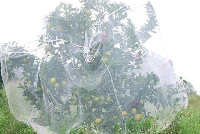 Để ngăn sâu bọ và đảm bảo sản phẩm sạch, chất lượng, không độc hại ông Oánh đã mua màn về mắc cho từng gốc cây. Những chiếc màn này được ông Oánh ra tận Công ty may 10 (Hà Nội) đặt mua, mỗi chiếc có giá 150 ngàn đồng.
