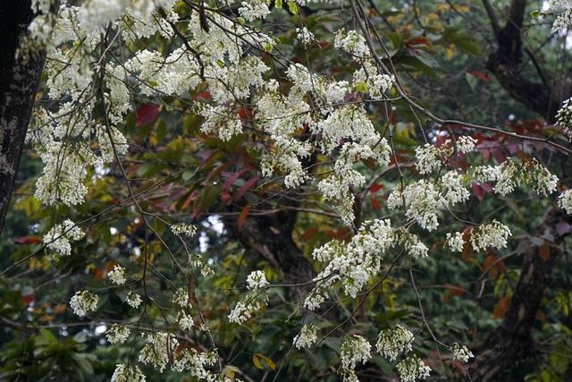 Hà Nội vào mùa hoa sưa trắng - 12
