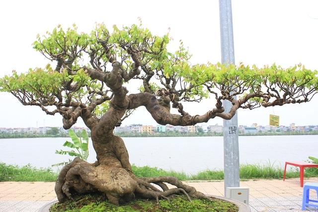 """Tác phẩm """"Cây khế"""" của tác giả Huỳnh Thanh Tuyên (Bình Định) có tuổi đời khoảng 120 năm. Ông Tuyên cho hay, cây được xem là """"báu vật"""" của dòng họ Huỳnh của mình và ông Tuyên là đời thứ 3 được truyền lại tác phẩm này. Cây có dáng huyền, mang vẻ cổ kính nhưng vẫn gợi nét tinh tế, uyển chuyển và có giá vào khoảng 1,5 tỷ đồng."""