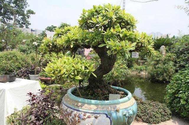 Tác phẩm hoa mẫu đơn bonsai cổ thụ có tuổi đời vào khoảng 200 năm. Cây có dáng trực, bố cục hài hòa, vừa có dáng vẻ mạnh mẽ lại toát lên vẻ tinh tế, uyển chuyển. Điều đặc biệt, cây nở hoa quanh năm. Dù không tiết lộ giá cụ thể, song chủ nhân của tác phẩm độc đáo này cho biết cây có giá không dưới tiền tỷ.
