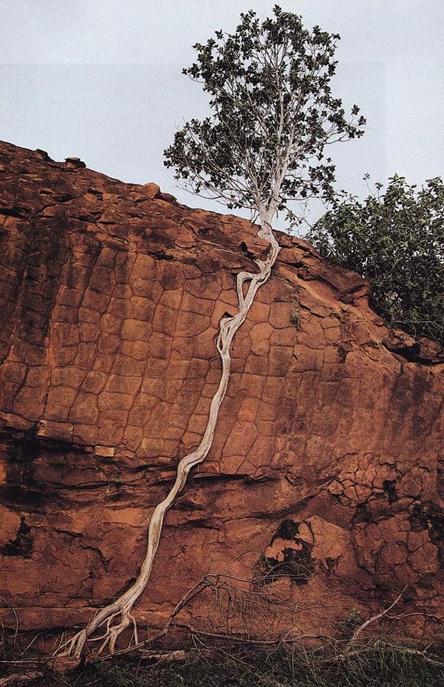 Không thể bám rễ trên vách đá, chiếc cây này trái qua một hành trình dài để chạm tới mặt đất bên dưới.