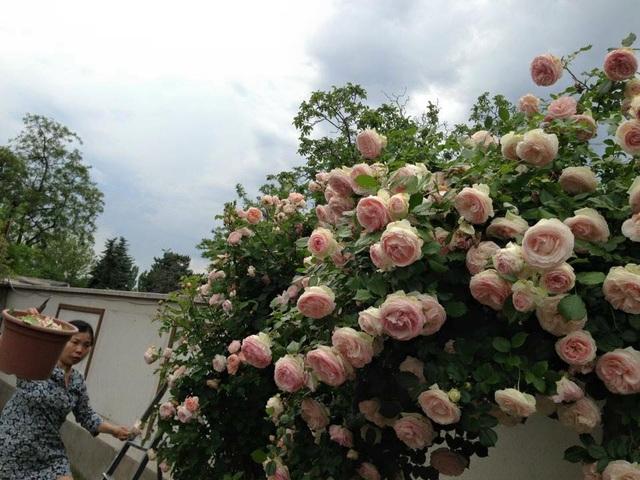 Chị Thảo thường tự mình cắt tỉa, chăm sóc vườn hoa