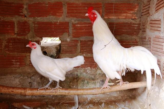 Loài gà tre lông trắng rất đẹp này cũng được anh Miền nhập về trang trại nuôi khoảng 1 năm nay. Giống gà này chủ yếu được anh bán giống cho người dân. Trứng nở ra đến đâu người dân mua hết đến đó nên Tết không có loại gà này để bán, anh Miền nói và cho biết thêm, loại gà này và giống gà thuần chủng có giá rất đắt, thường được những người tuổi gà mua về nuôi trong năm mới này để lấy may.
