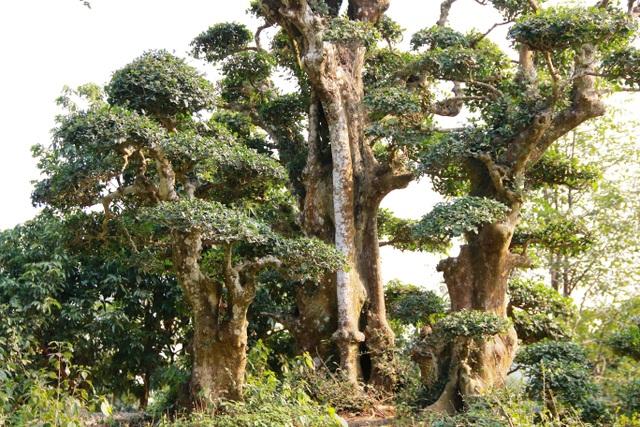 Nhiều người trong giới bon sai cây cảnh đến tham quan và đánh giá, đây là cây duối là có dáng thế đẹp độc nhất vô nhị tại Việt Nam.