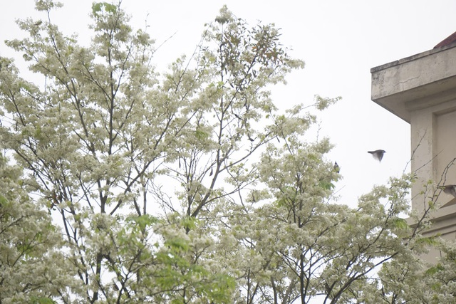 Hà Nội vào mùa hoa sưa trắng - 13