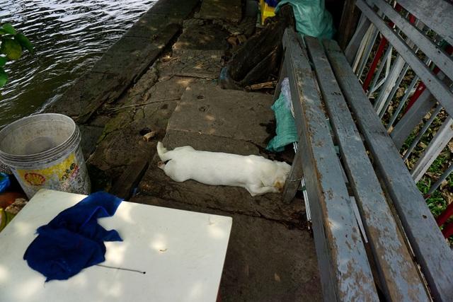 Một con chó nằm ngủ trưa dưới bóng mát bên bến Bạch Đằng.