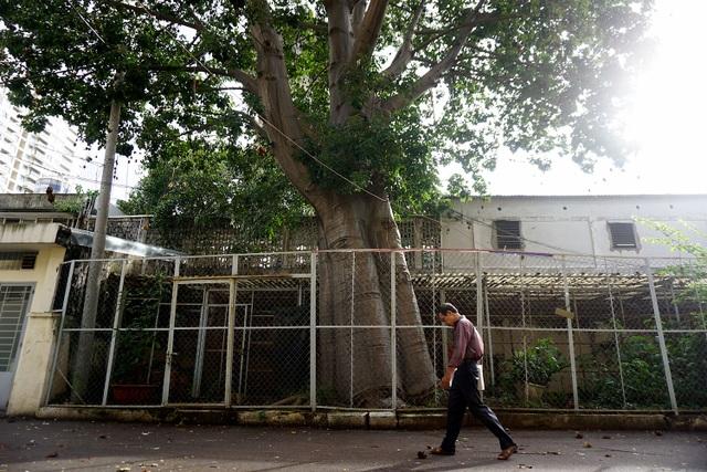 Ngoài cây bao báp lâu đời trong khuôn viên trường Đại học Sư phạm TPHCM, ở Sài Gòn còn có thêm 3 cây bao báp có tuổi đời khoảng 20 năm nằm ở Thảo Cầm Viên.