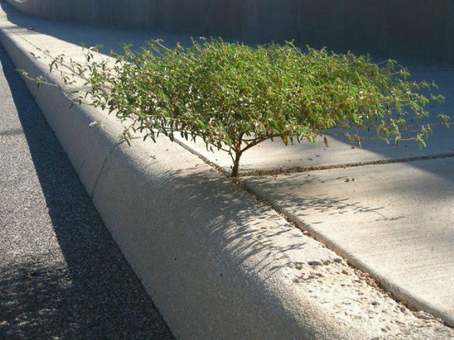 Cây mọc trên vỉa hè đường