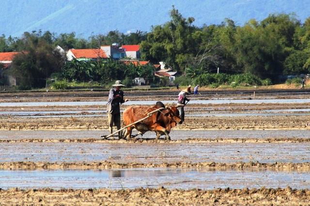 Trên khắp các cánh đồng tỉnh Bình Định, bà con nông dân đang tích cực làm đất để gieo sạ theo phương châm càng sớm càng