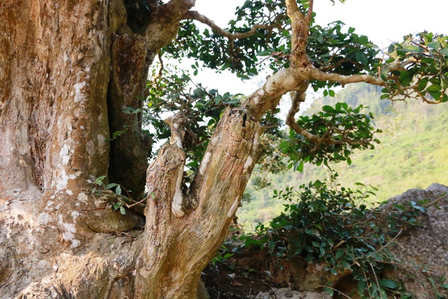Có tuổi đời già cỗi, hiện một số cành trên thân cây đã bị mục. Tuy nhiên, thay vào đó xung quanh thân cây mỗi năm lại mọc thêm nhiều cành khác thể hiện sức sống trường tồn, mãnh liệt.