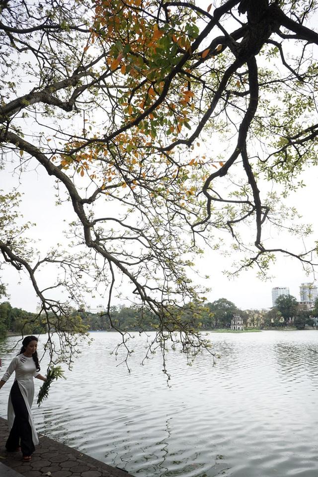 Cây lộc vừng này đã tồn tại lâu đời bên Hồ Gươm Hà Nội. Hàng năm, cứ vào độ qua Tết nắng ấm tràn về miền Bắc là cây trút lá vàng.