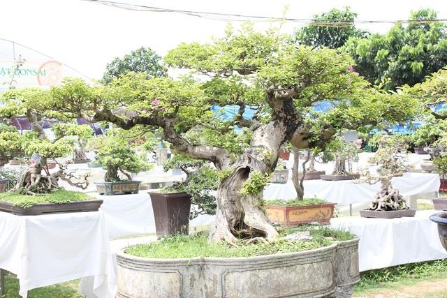 """Cây hoa giấy cổ thụ bonsai của tác giả Đào Mạnh Hùng. Cây có gốc lũa tự nhiên, tán lá xòe rộng, thân uốn lượn như hình con rồng đang bay lên khỏi mặt đất. Cây được nhiều dân chơi cây cảnh đánh giá là """"độc nhất vô nhị"""" ở Việt Nam và được định giá vào khoảng 1,5 tỷ đồng."""