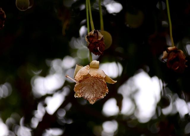 Hoa bao báp nở rất đẹp nhưng cũng chóng tàn.
