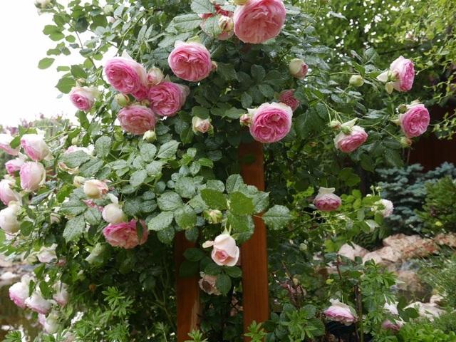 Những bông hoa hồng khoe sắc rực rỡ