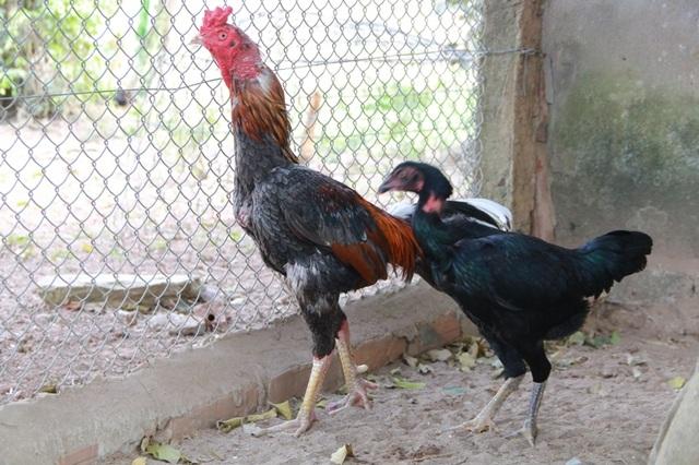 Nhờ nuôi các loại gà đặc sản, tiến vua, hàng hiếm mà mỗi năm anh Miền có thu nhập cả trăm triệu đồng.