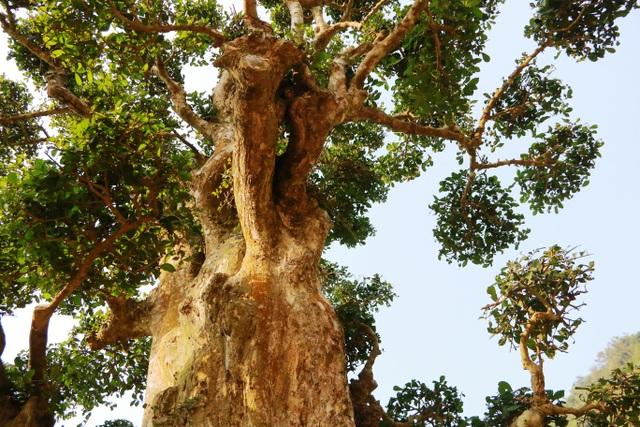Cây duối quanh năm xanh lá, phủ bóng mát và điểm đặc biệt là người ta không bao giờ thấy cây rụng lá.
