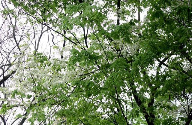 Vẻ đẹp tinh tế của loại hoa này làm nên những nét chấm phá rất riêng cho Hà Nội