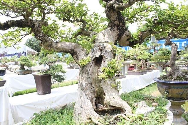 Cây có tuổi đời gần 100 năm, cao 1m, đường kính thân vào khoảng 30cm. Vào mùa hè, cây nở hoa thành từng chùm rất bắt mắt.