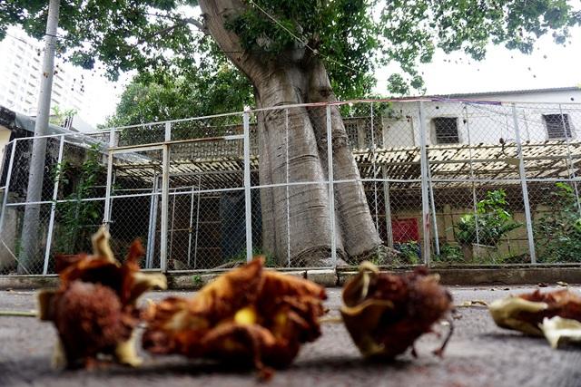 Ngoài TPHCM, cây Bao báp còn được trồng ở Hà Nội, Kiên Giang và Huế nhưng số lượng rất ít. Cây lớn tuổi nhất khoảng 100 năm được trồng ở Kiên Giang.