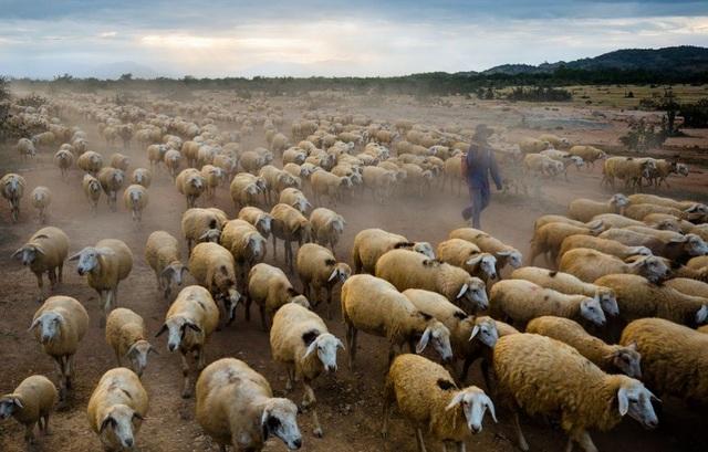 Ngày 22/12 - ảnh của Trần Tuấn Việt: Một người chăn cừu dẫn đàn cừu về chuồng trước khi một cơn bão ập tới, ảnh chụp ở Ninh Thuận - một trong những vùng đất nóng nhất và khô cằn nhất tại Việt Nam, nơi phù hợp với việc chăn nuôi cừu. Mỗi ngày, những người chăn cừu đưa đàn cừu của mình từ chuồng ra tới các đồng cỏ từ lúc bình minh hé rạng và họ trở về vào lúc hoàng hôn.