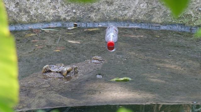 Lục thùng rác tìm thấy vỏ chai nước ngọt, một vị khách thẳng tay ném vào đầu cá sấu.