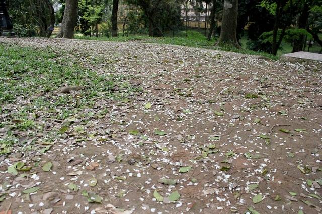Những cánh hoa sưa mỏng, rụng trắng cả một khoảng đất trong công viên Bách Thảo.