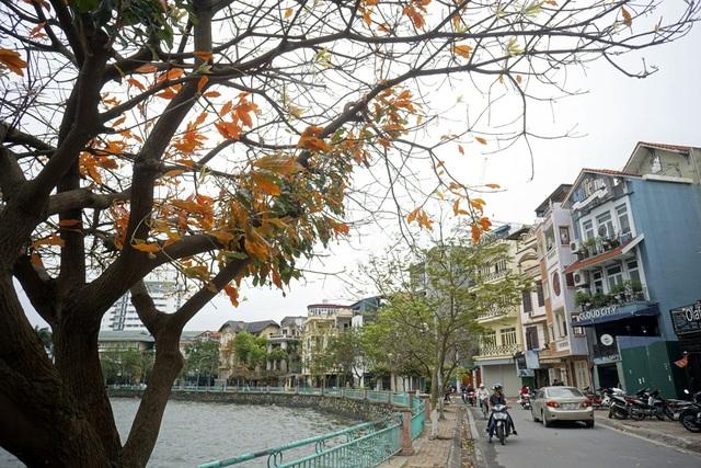 Những chiếc lá vàng cũng chỉ lưu trên cành 2 - 3 ngày là rơi rụng. Thông thường những loại cây khác thay lá vào mùa thu, riêng lộc vừng lại thay lá vào mùa xuân.