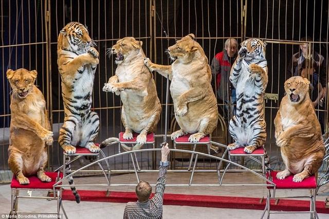"""Người huấn luyện bầy sư tử cho biết chúng được cho ăn đầy đủ và đúng cách, chỉ có điều chúng đã già và dần trở nên """"phát phì""""."""