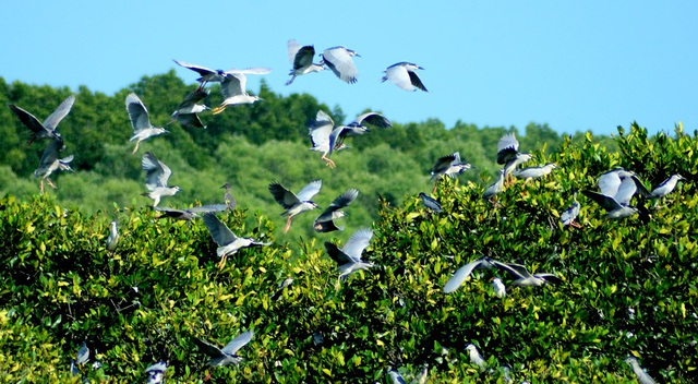 Cứ đến mùa cao điểm, hàng triệu cá thể chim, cò quần tụ về đây trú ngụ.