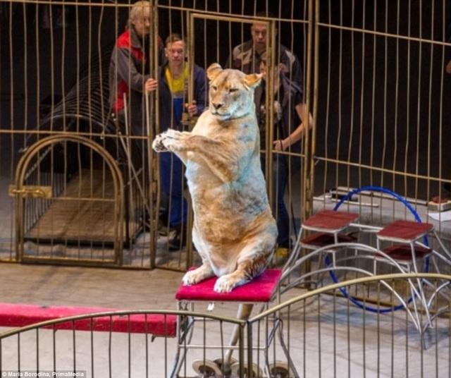 Vì diện mạo bất thường của những con sư tử cái này mà gánh xiếc ở thành phố Vladivostok, Nga, đã bị một số người dân gọi điện cho cảnh sát yêu cầu điều tra việc chăm sóc đàn sư tử tại gánh xiếc.
