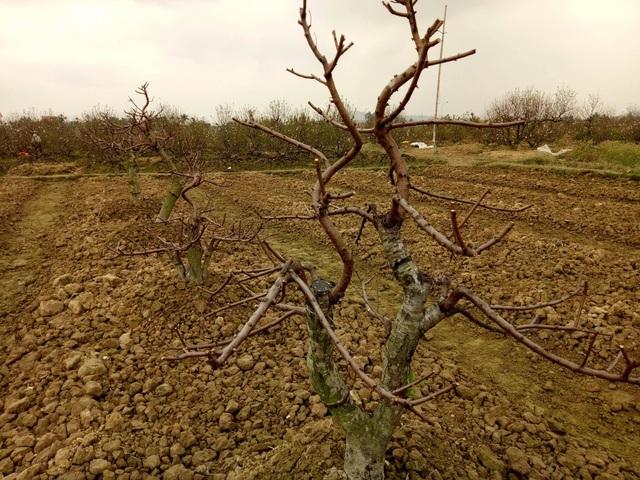 Nhiều hộ trồng đào đã phải cắt bỏ đào, không kịp thu hoạch
