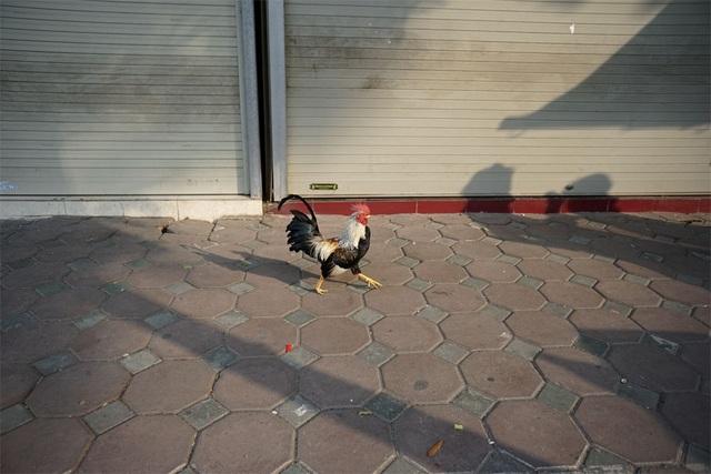 Một chú gà tre đang tung tăng trên hè phố.