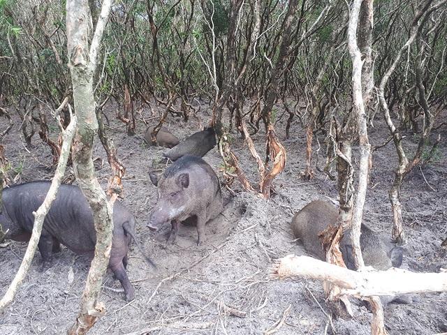 Mê mẩn đàn lợn rừng tiền tỷ ở miền biển - 15