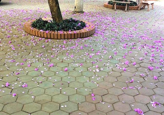Khi sân trường rơi những cánh bằng lăng tím cũng là lúc các bạn khối 12 chia tay nhau. Sân trường tím màu hoa bằng lăng để lại bao nỗi nhớ không nguôi.